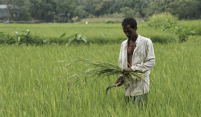 Rice farmer in central Bangladesh. © Scott Wallace / World Bank